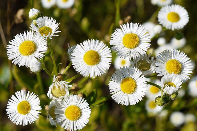 Flowers, Wild Plant, Decorative, Petals, White Yellow