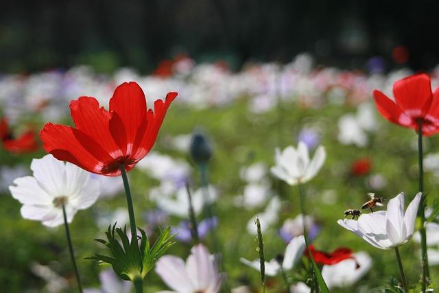 Anemone, Field, Flowers, Bloom, Plants, Windflower