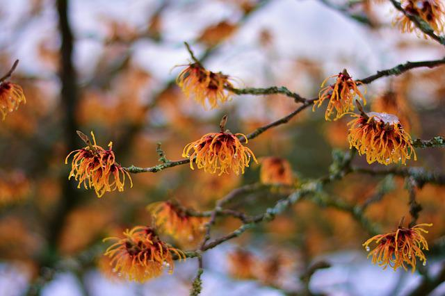 Witch Hazel, Witch Hazel Plant, January, Flowers
