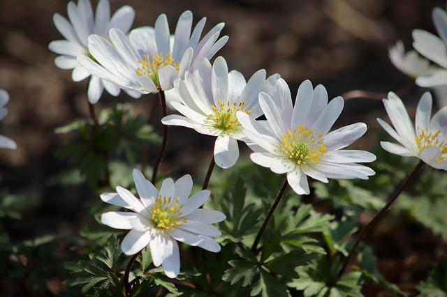 Flowers, Wood Anemone, White, Bloom, Spring