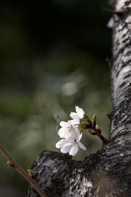 Wood, Spring, Flowers, Cherry Blossom, Flower Tree
