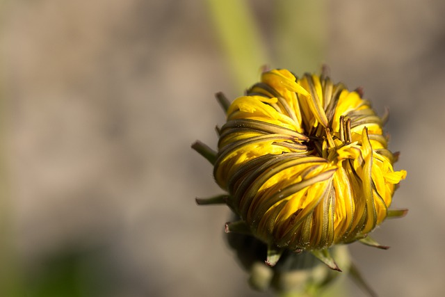 Dandelion, Yellow, Orange, Flowers, Blossom, Bloom