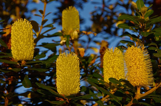 Coastal Banksia, Banksia, Flowers, Tree, Blooms, Yellow