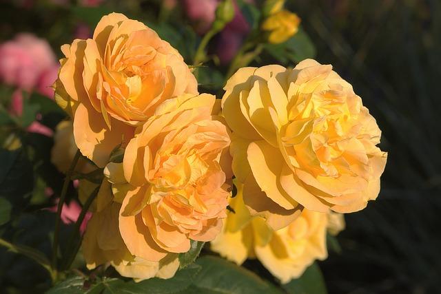 Flowers, Rose, Floribunda, Yellow, Golden Yellow