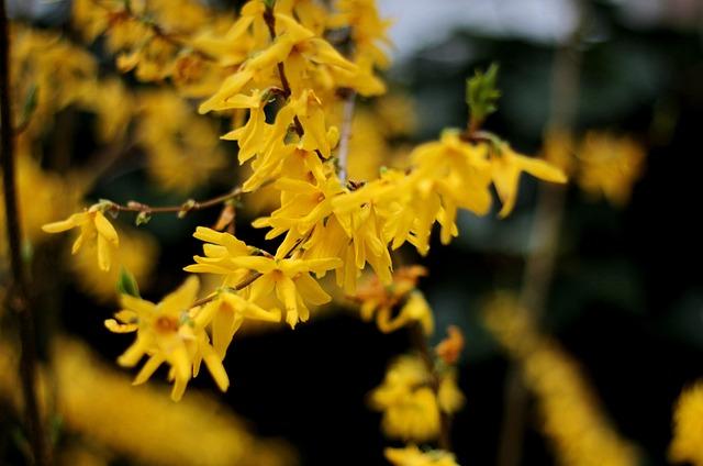 Forsythia, Yellow, Spring, Shrub, Flowers, Garden