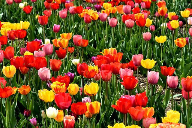 spring of hope free photo flowers yellow tulips colorful 2436