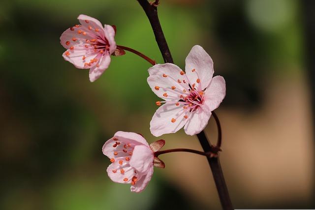 Zierpflaume, Blossom, Flowers, Petals, Flowering Twig
