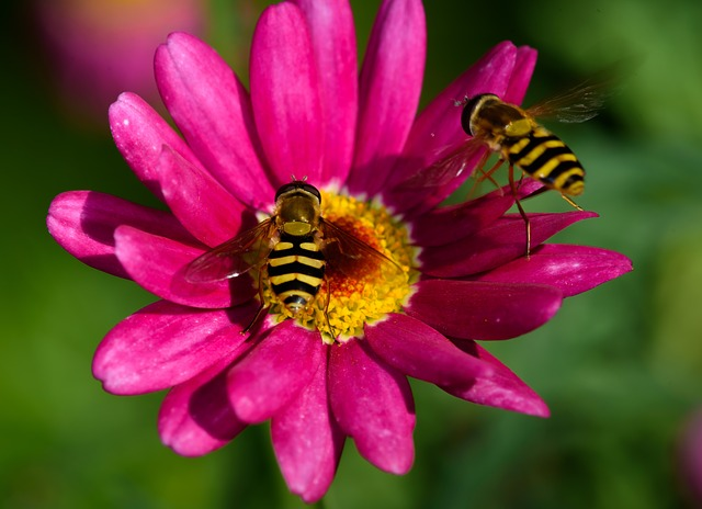 Flue, Wasp Fly, Flower, Pink
