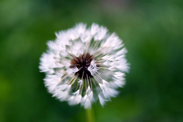 Dandelion, Rosa, Water, Drops, Fluff, White, Morning