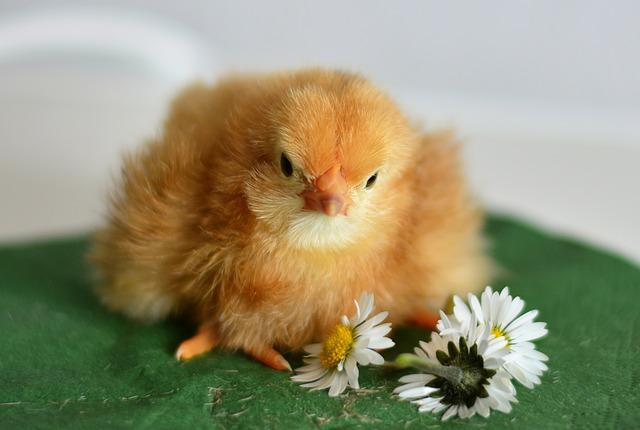 Chicks, Young Animal, Chicken, Hatched, Cute, Fluffy