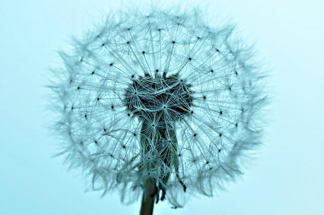 Dandelion, Dandelion Puffball, Fluffy, Growth, Macro