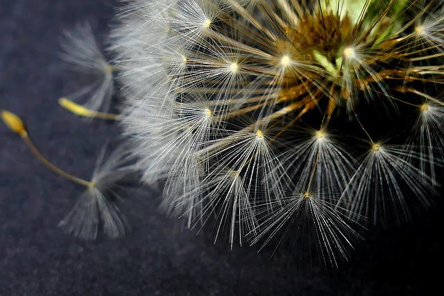 Dandelion, Nature, Fluffy, Plant, Growth, Summer, Light