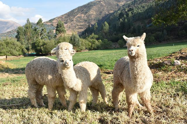 Peru, Alpaca, Cute, Young, Animal World, Sweet, Fluffy
