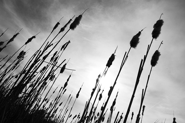 Reeds, Meadow, Black And White, Fluffy, Cane, Waters
