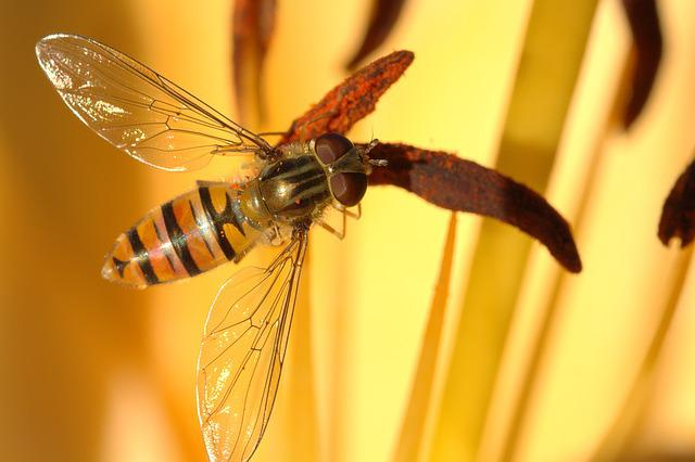 Episyrphus Balteatus, Hover Fly, Fly, Close, Face
