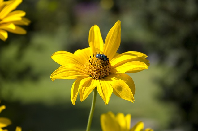 Flower, Fly, Nature, Insect, Bee, Greenfly, Daisy