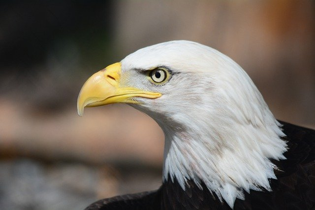 Bald Eagle, Eagle, Raptor, Eagles, Fly, Bird Of Prey