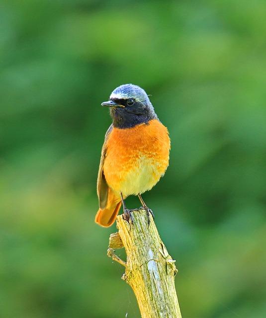 Phoenicurus Ochruros, Bird, Fly, Wings, Feather
