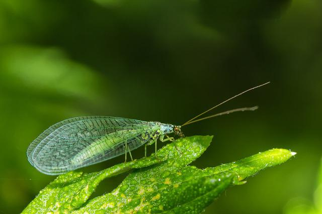 Lacewing, Insect, Fly, Green, Flight Insect, Close
