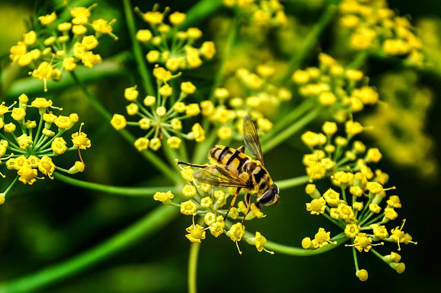 Hover Fly, Schwirrfliege, Insect, Fly, Compound Eyes