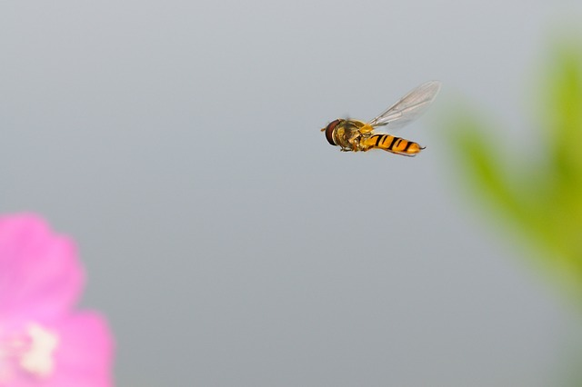 Hoverfly, Insect, Fly