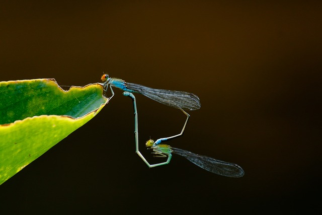 Insect, Dragonfly, Nature, Fly, Animal, Mating, Love
