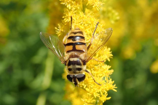 Schwirrfliege, Hoverfly, Flower, Fly, Insect, Yellow