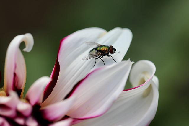 Fly, Insect, Bug, Nature, Flower, Petals, Animal