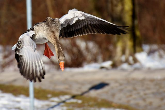 Goose, Fly, Flight, Water Bird, Wildlife Photography