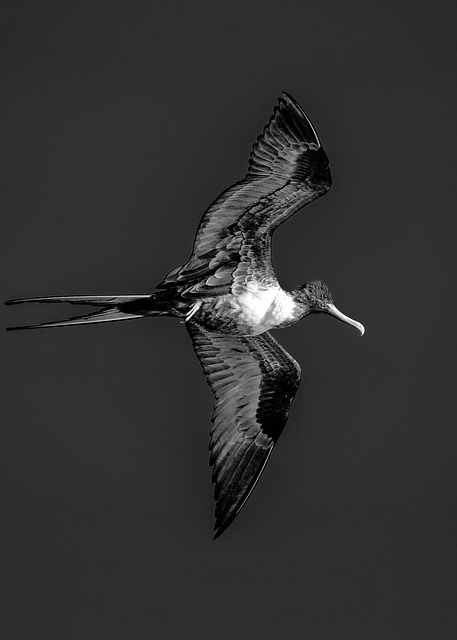 Frigate, Bermuda, Black And White, Bird, Fly, Wing