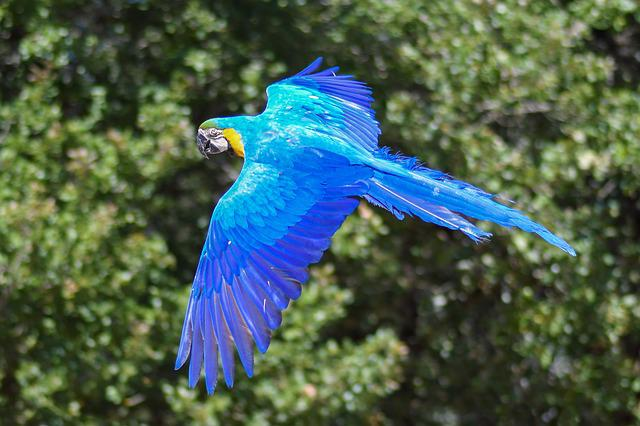 Parrot, Blue Macaw, Fly, Bird, Wing, Green