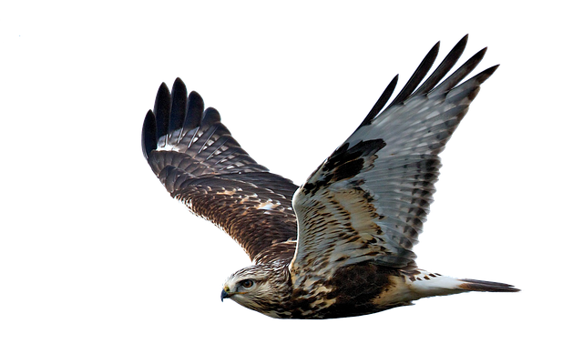 Hawk, Flight, Raptor, Bird Of Prey, Flying, Feather