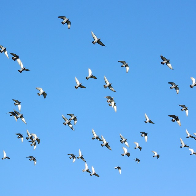 Flying Birds, A Flock Of Pigeons, Pigeons, Pigeon