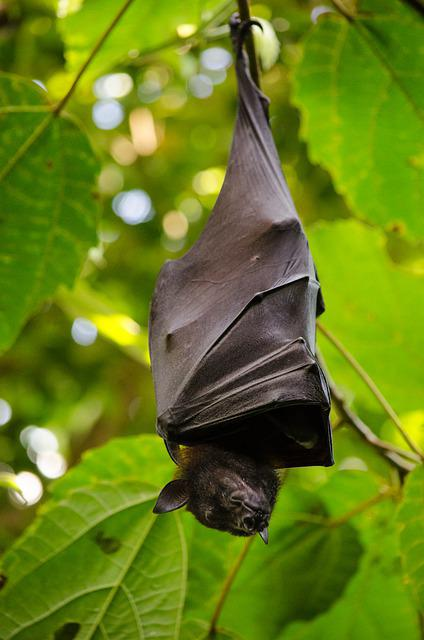 Nature, Leaf, Hang, Animal World, Flying Dog, Batman