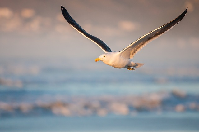 Kelp Gull In Flight, Morning Light, Fly, Flying