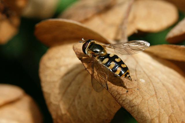 Hoverfly, Wing, Insect, Close Up, Flying