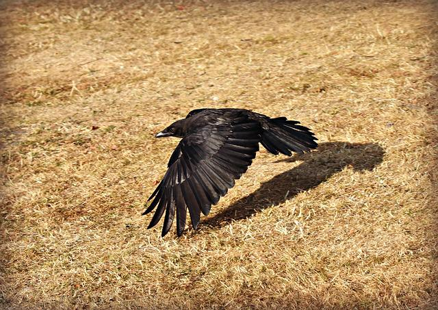 Crow, Bird, Flying, Flight, Wing, Feathers, Plumage