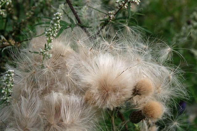 Autumn, Thistles, Flying Seeds, Dry, Faded