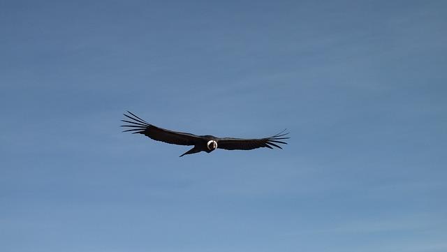 Condor, Flight, Sky, Peru, Flying