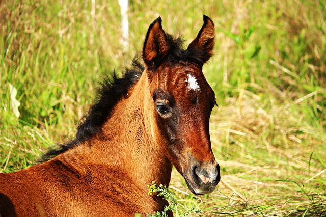 Horse, Foal, Thoroughbred Arabian, Brown Mold
