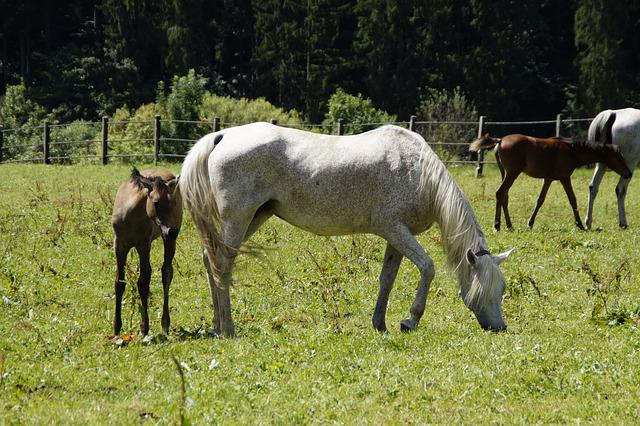 Mares, Foal, Arabs, Breeding, Mold, Horse Breed