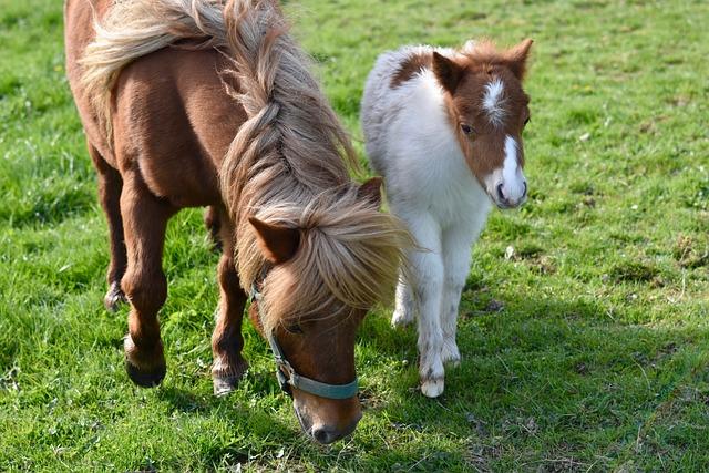 Shetland Pony, Foal Shetland, Small Horses, Animals