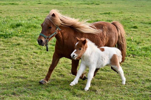 Foal, Shetland Pony, Shetland Pony Jarod