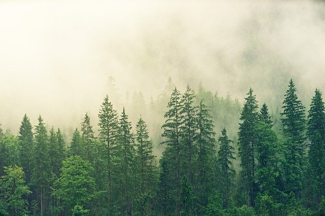 Forest, Trees, Fog, Conifers, Pine, Spruce, Fir Forest