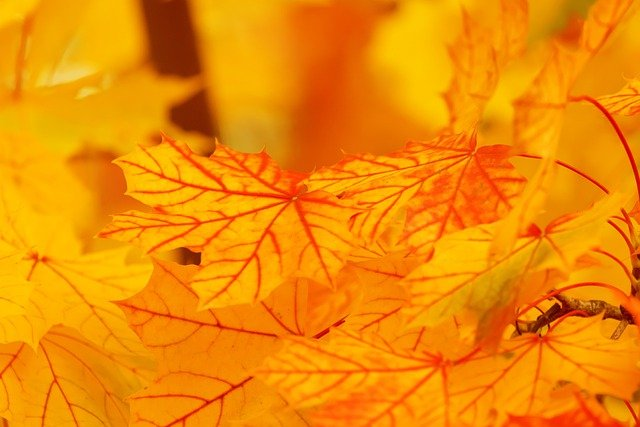 Autumn, Leaves, Foliage, Autumn Leaves, Maple Leaves