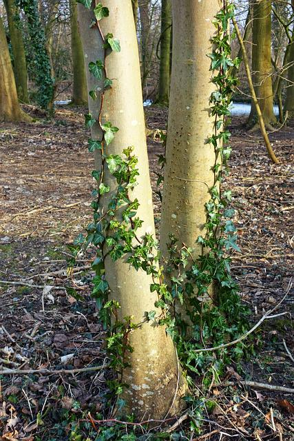 Tree, Trunk, Bark, Ivy, Ivy Grown, Foliage, Covering