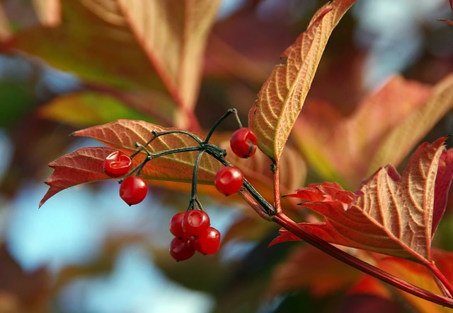 Fruit, Berries, Shrub, Leaves, Foliage, Branches