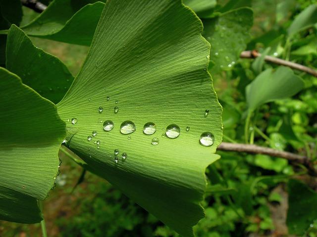 Foliage, Ginkgo Leaf, Ginkgo, Ginkgo Biloba, Fern Pine