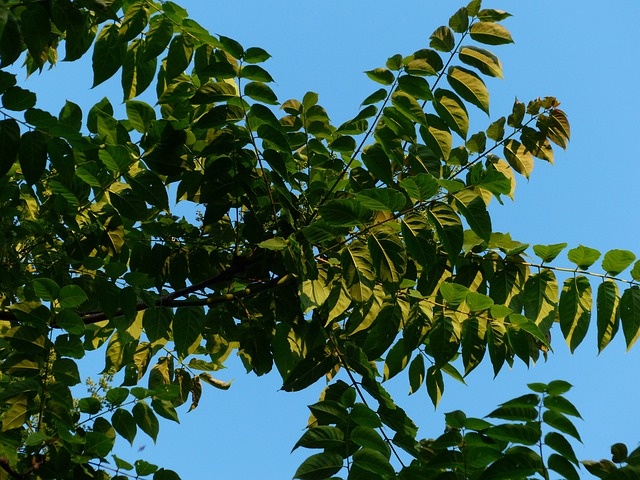 Leaves, Foliage, Ailanthus Altissima, Green