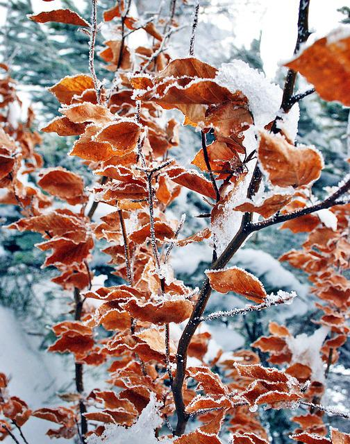 Foliage, Winter, Frost, Nature, Ice, Hard Rime, Tree